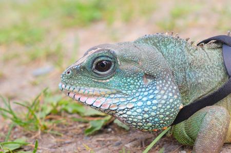 water dragon iguana reptile head close up