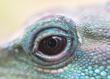 reptile: water dragon iguana reptile eye close up