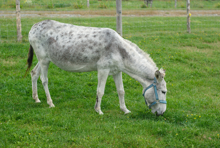 enclosure: donkey eating grass in meadow green field enclosure Stock Photo