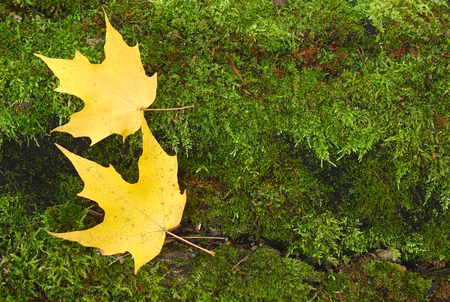 yellow autumn maple leaves on green peat moss background