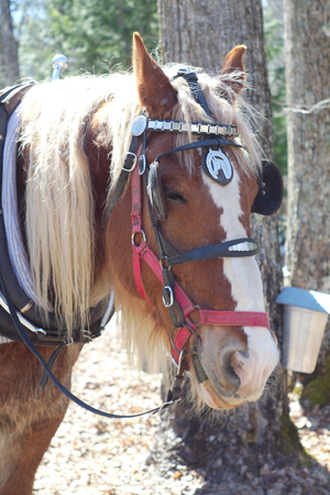 blinders: farm horse portrait with blinkers red muzzle