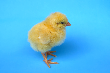 little baby bird hen chick chicken on blue background farm studio one cute feather