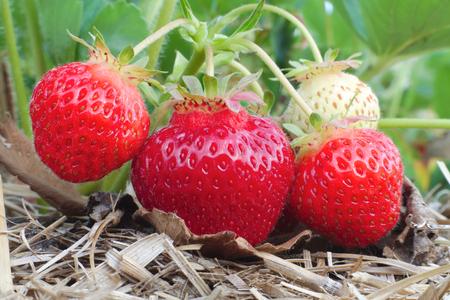 fresh strawberry fruit harvest macro growing in field  Stok Fotoğraf