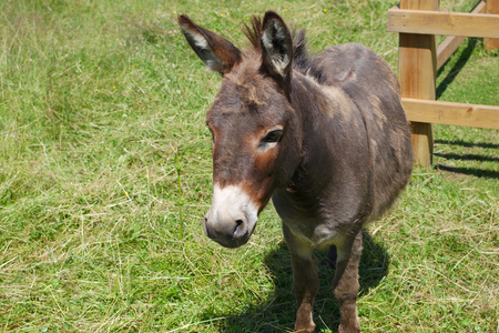 donkey jackass farm animal livestock contry field enclosure rural meadow mule