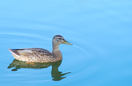 duck swimming on blue lake aqua blue mallard nature wildlife