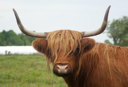 brown horned cow long horns grass