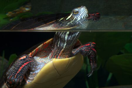 turtle reptile wildlife shell aquatic water reflection Фото со стока