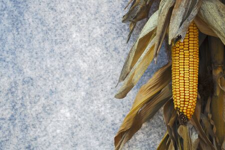 dry corn autumn decorative background country farm