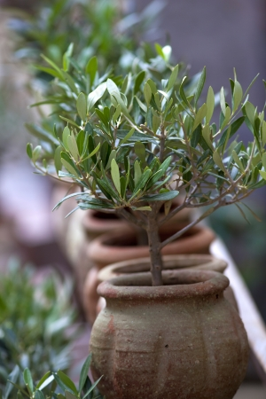 olive  tree: Small olive trees in pots en a terrace