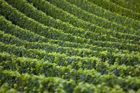 Vine rows in Saint-Emilion photo