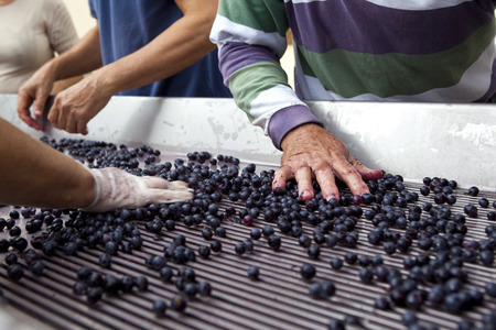 sorting: Sorting grapes after harvest Stock Photo
