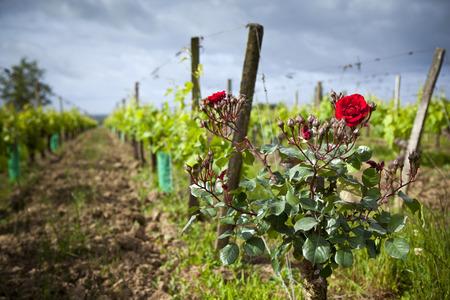 saint emilion: Rosebushes in vineyards