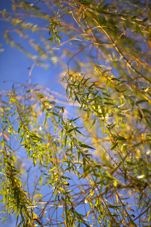 weeping willow: Sunlight in a weeping willow