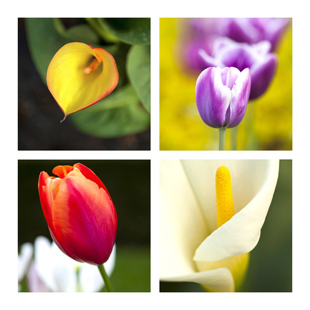 Collage of tulips and arums photo