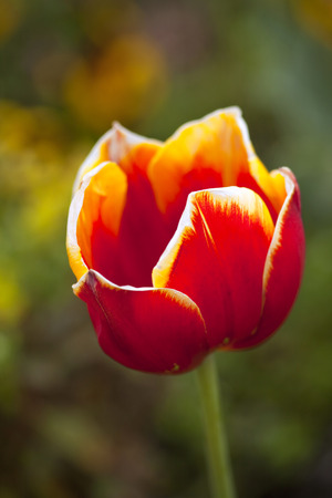 Close up of a tulip in a garden photo