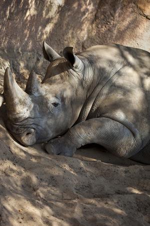 A Rhino sleeping on sand photo