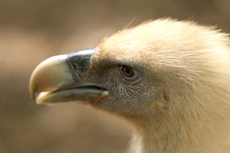 beak vulture: Focus on a vulture in a zoo Stock Photo