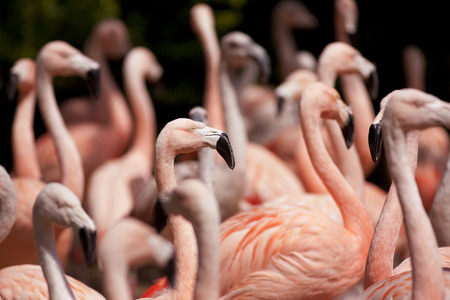 camargue: Group of pink flamingos in Camargue, France