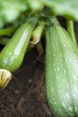 Focus on zucchini in a vegetable garden