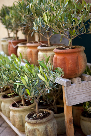 Young olive trees on a terrace in Provence Foto de archivo