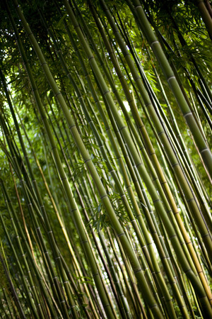 asian gardening: Giant bamboo in a Chinese park in Summer