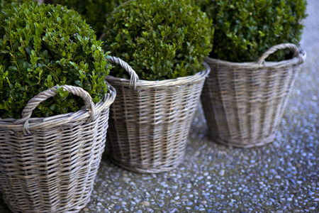 boxwood: Boxwood in pot and wicker basket on a terrace