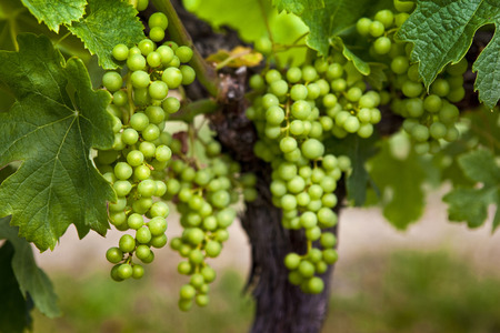 oenology: Close up of grapes in French vineyards