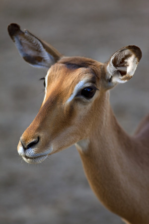 doe: Head of a young doe in a park