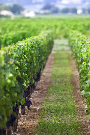oenology: Grapes in vineyards of Saint-Emilion, near Bordeaux, France Stock Photo
