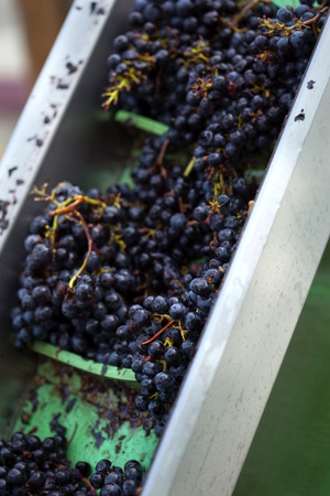 oenology: Sorting red grapes in a winery after harvest