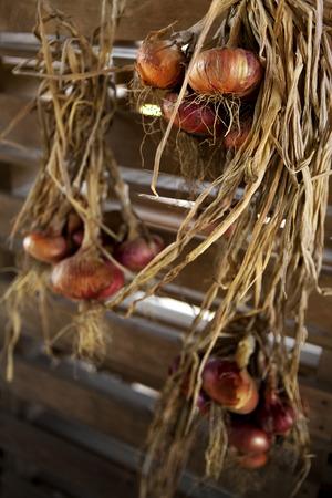 hanged: Rustic onions hanged in a farm storeroom