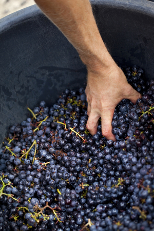 Harvester catching red grapes in a plastic tray