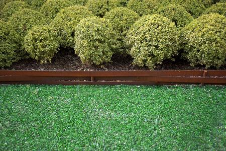 splinters: Boxwood shrubs in a garden with glass splinters