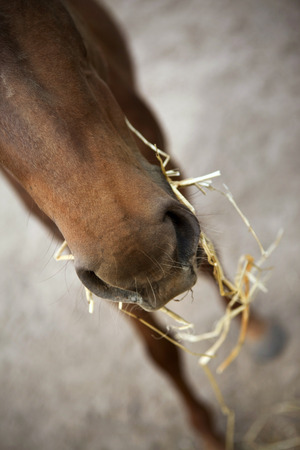 nostrils: Close up of a young foal in a farm