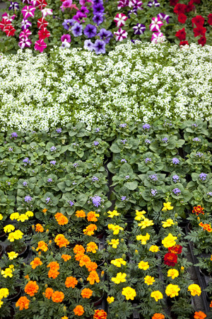 eyelet: Various small flowers in a garden center