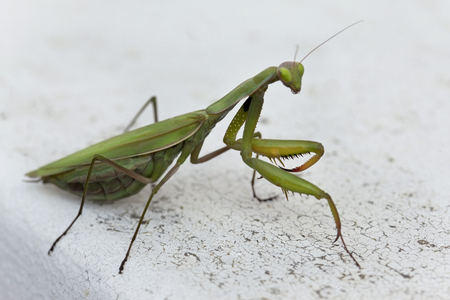 Close up of a praying mantis on a window sill Stock Photo