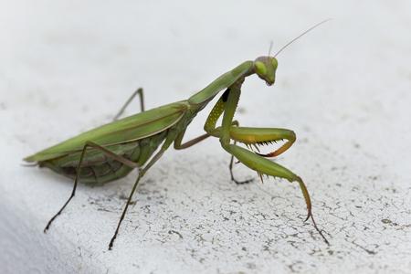 Close up of a praying mantis on a window sill Standard-Bild