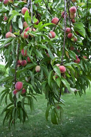 Many peaches on a tree in a garden
