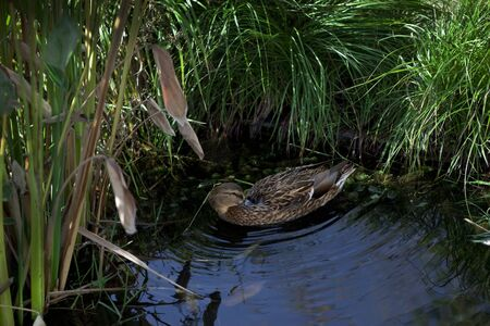 Duck in a pond surrounded by reeds