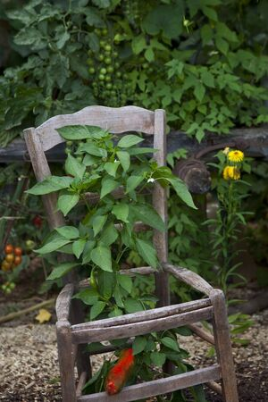 Peppers growing through an old chair in a garden in the countryside Reklamní fotografie