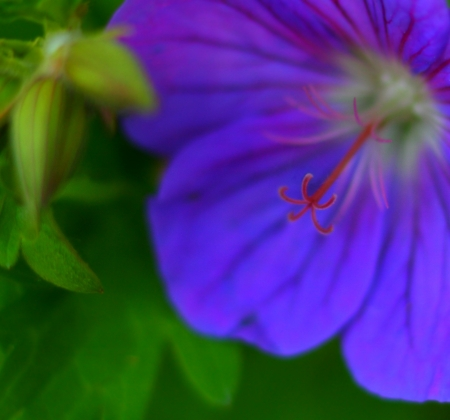 Wood Cranesbill Stock Photo