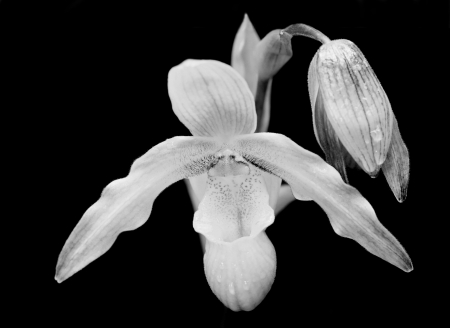 Orchid in Monochrome