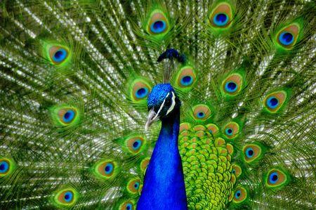 pavo real: Peacock pantalla