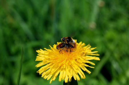 Pair of honey bees mating