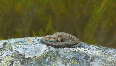 basking: common lizard basking on rock Stock Photo