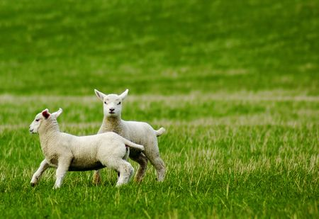frolicking: Two lambs frolicking in field Stock Photo