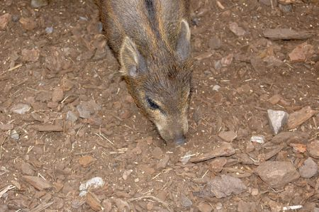 pigmy: Pigmy deer foraging in dirt Stock Photo