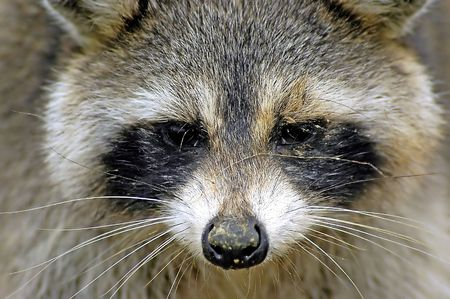 omnivore animal: Close up of a raccoon Stock Photo