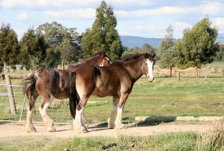 clydesdale: horses Stock Photo