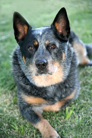 heeler: Australian Cattle Dog
